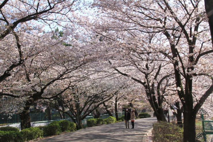 大宮公園【お花見】