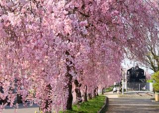 日中線記念自転車歩行者道 しだれ桜並木