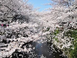 目黒川【お花見】