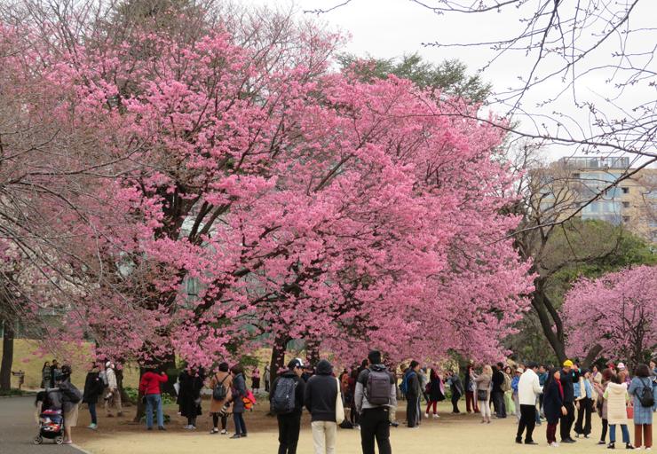 新宿御苑【お花見】