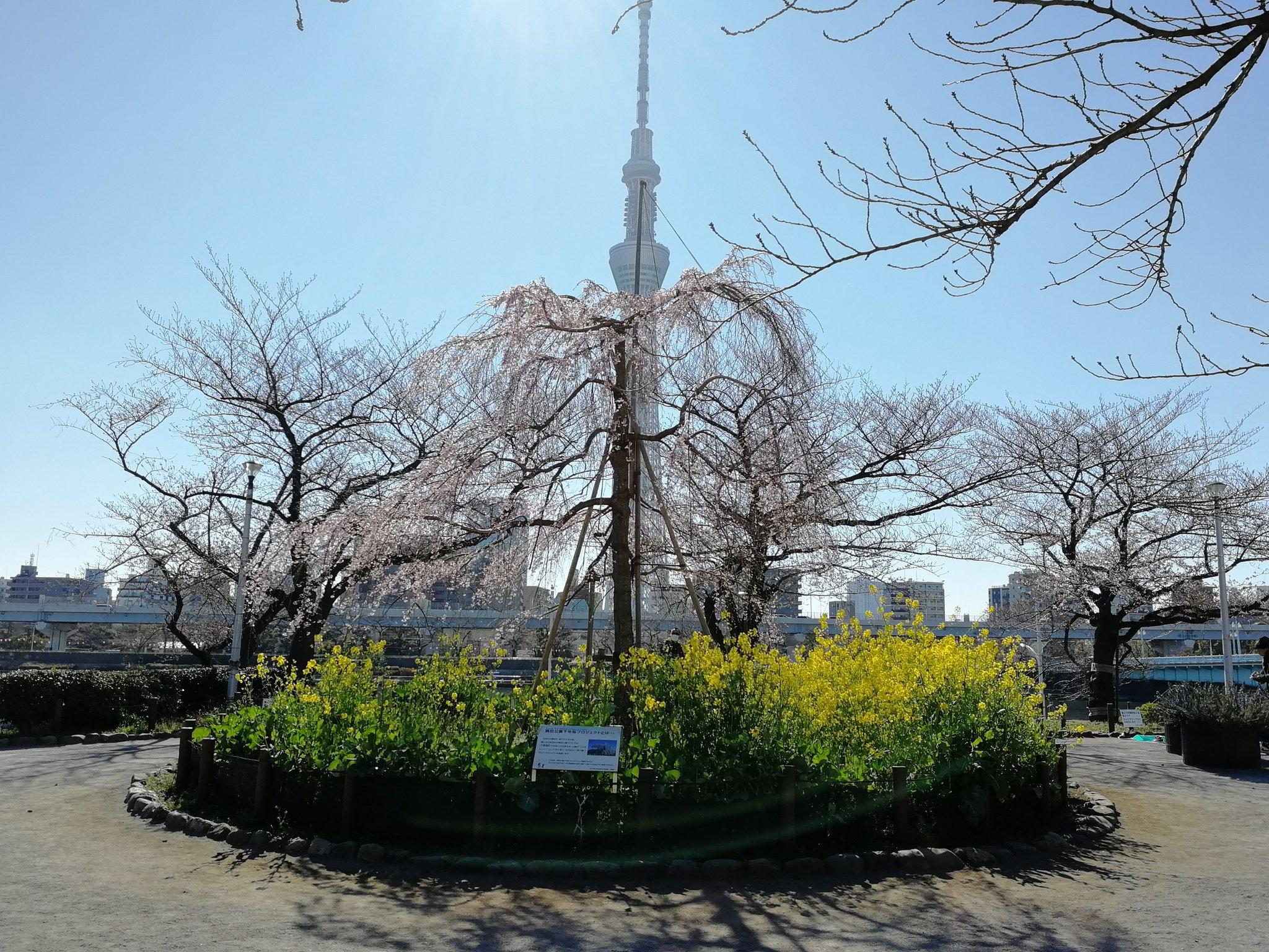 隅田公園【お花見】