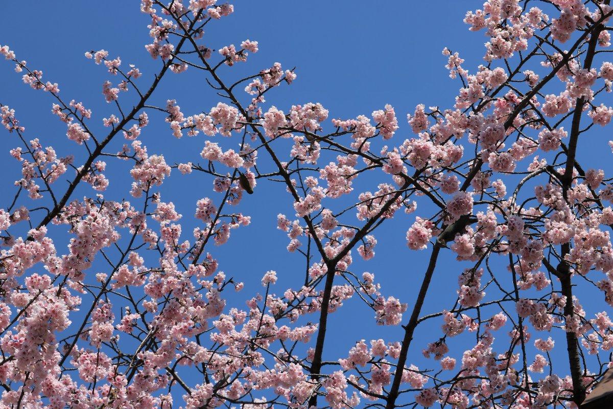 日比谷公園【お花見】